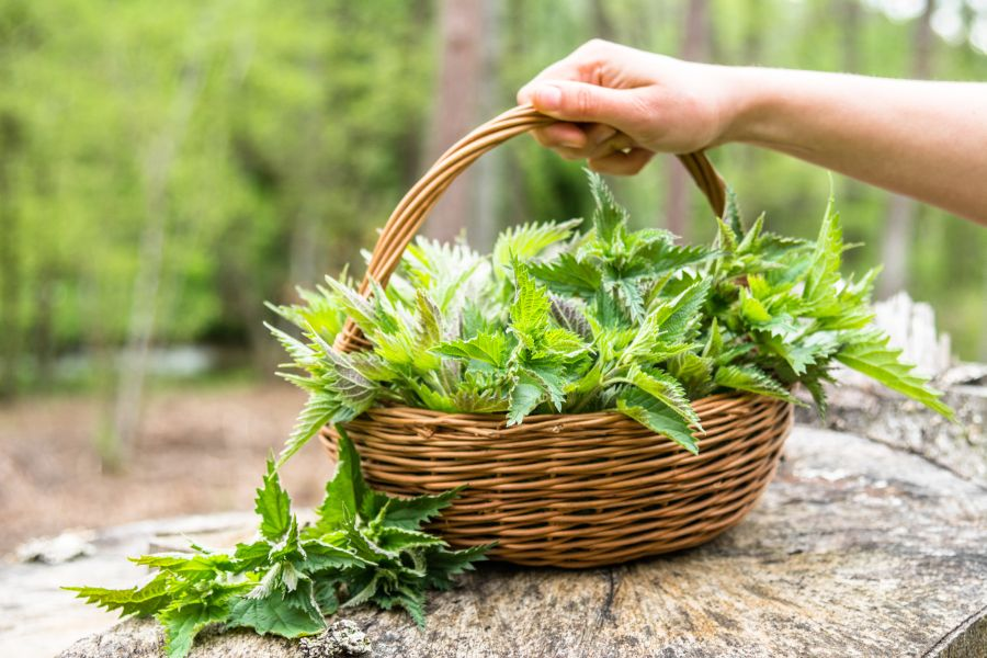 Healthy medicinal plant - nettles. Basket of fresh herbs - leaves of nettle harvested in the forest
